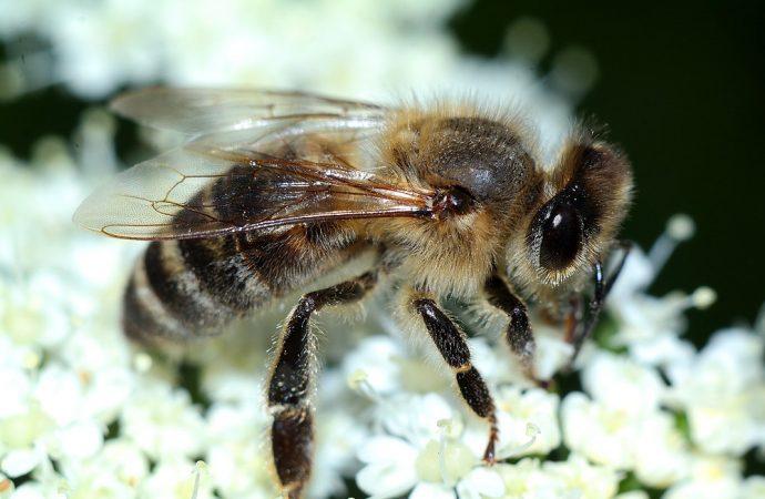 Pierzga pszczela – cud, choć nie miód